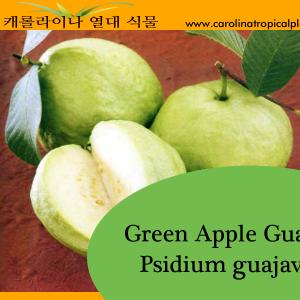Green Apple Guava - Psidium guajava Seeds - 25 Seed Count