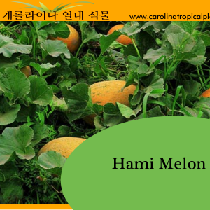 Hami Melon Seeds - 25 Seed Count