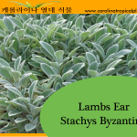 Lambs Ear - Stachys Byzantina Seeds - 25 Seed Count