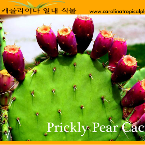 Prickly Pear Cactus Seeds - 25 Seed Count