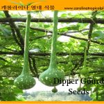 Dipper Gourd Seeds - 20 Seed Count