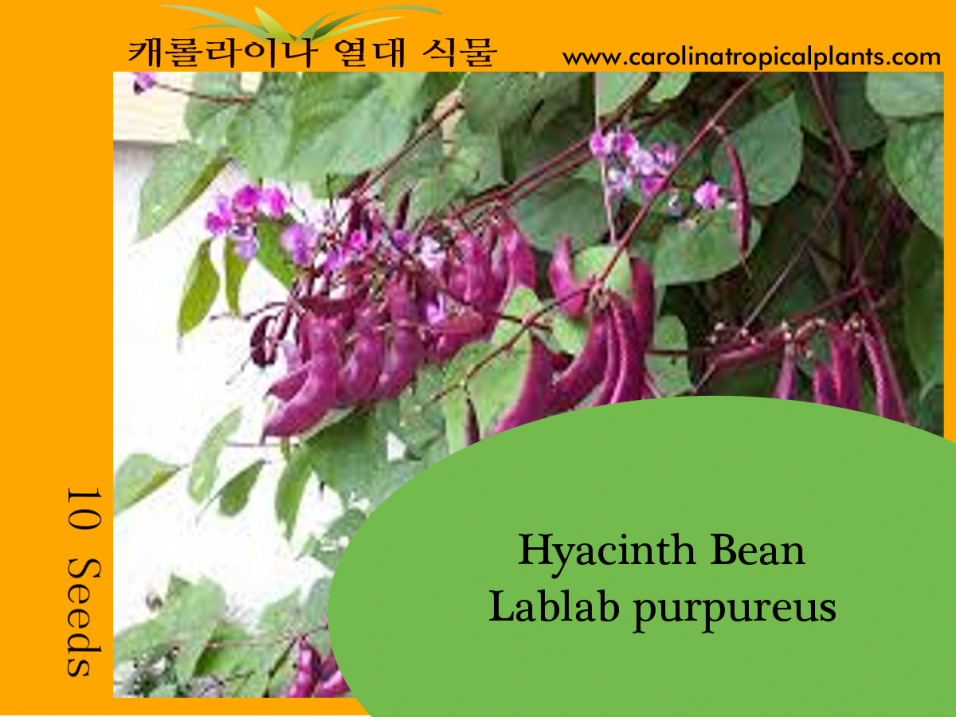 Hyacinth Bean - Lablab purpureus Seeds - 10 Seed Count