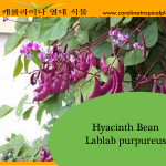 Hyacinth Bean - Lablab purpureus Seeds - 10 Seed Count