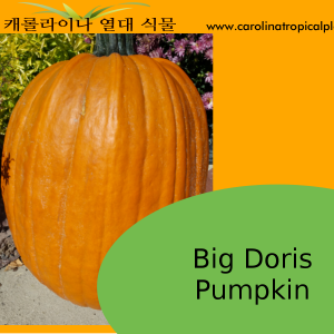 Big Doris Pumpkin Seeds - 5 Seed Count