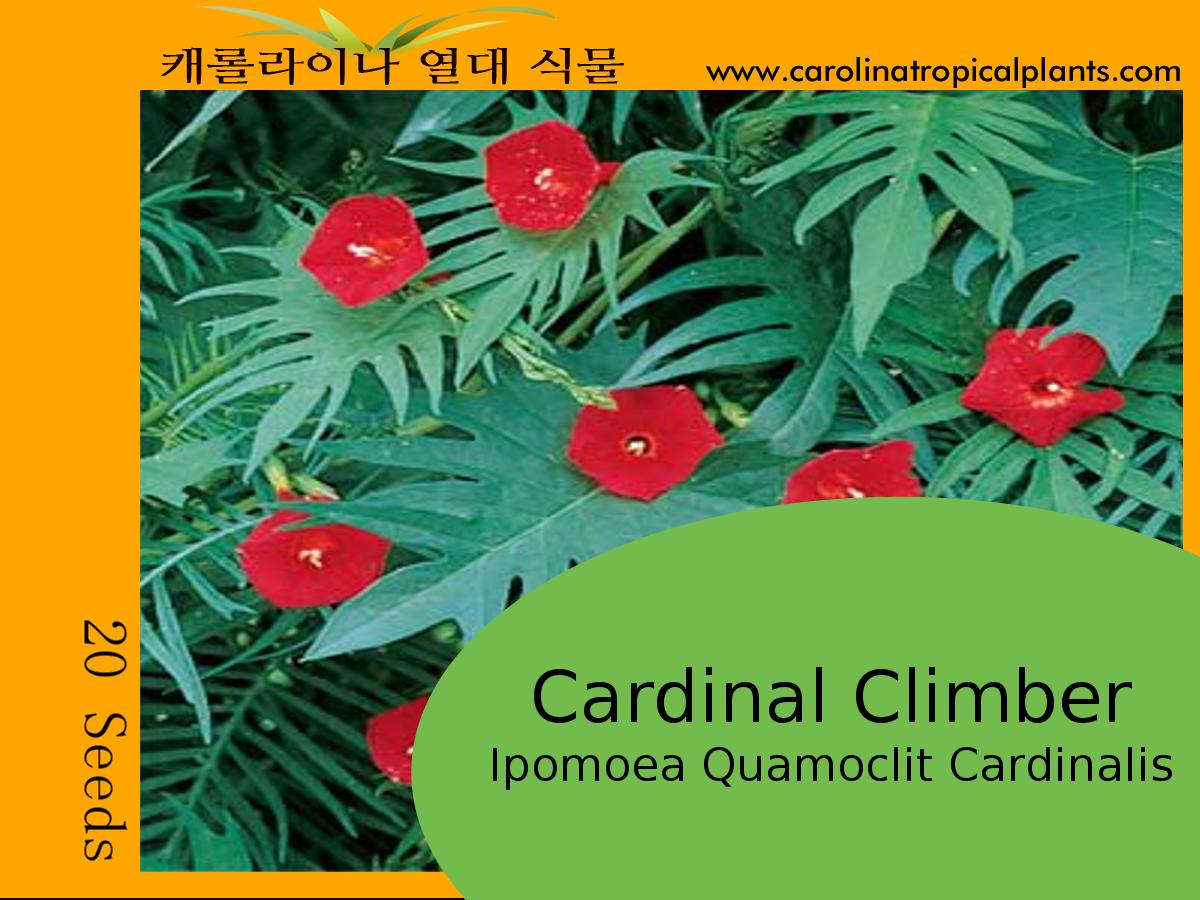 Cardinal Climber / Ipomoea Quamoclit Cardinalis