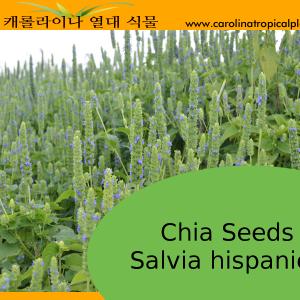 Chia Seeds - Salvia hispanica Seeds - 2000 Seed Count