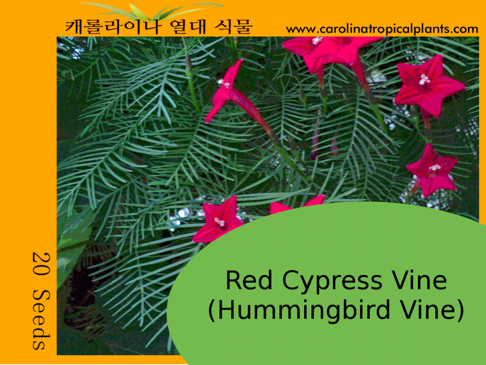 Hummingbird Vine - Red Cypress Vine Seeds - 20 Seed Count