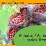 Achiote / Annatto (Bixa Orellana) Seeds - 10 Seed Count