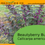 Beautyberry Bush - Callicarpa americana - American Beautyberry - 50 Seeds