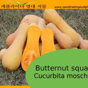 Butternut Squash - Cucurbita moschata Seeds - 10 Seeds