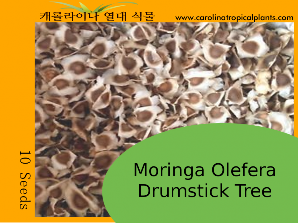 Moringa Oleifera - Drumstick Tree Seeds - 10 Seed Count