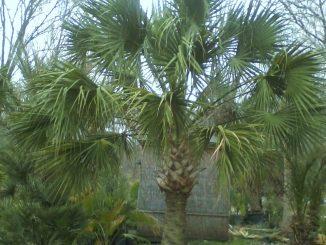 Sabal Palm Tree Seeds