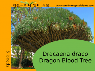 Dracaena draco - Dragon Bloob Tree Seeds - 5 Seed Count