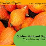 Golden Hubbard Squash - Golden Pumpkin (Cucurbita maxima) - 10 Seed Count