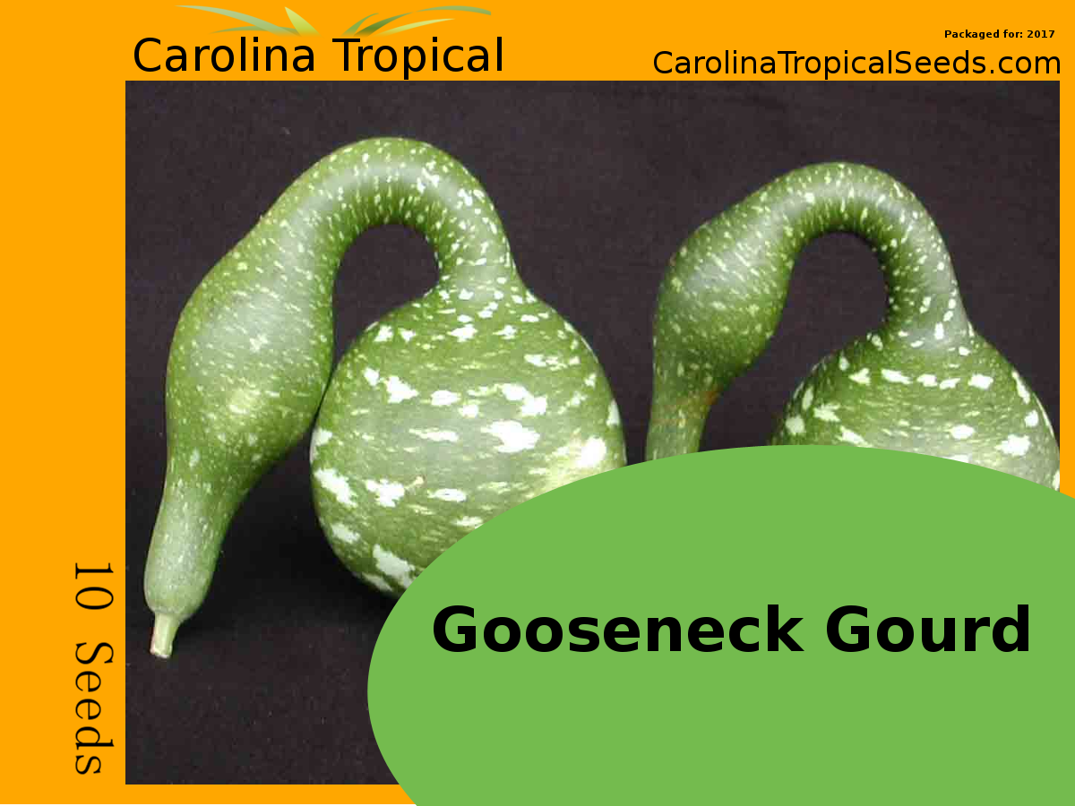 Gooseneck Gourd - Lagenaria siceraria - 10 Seed Count