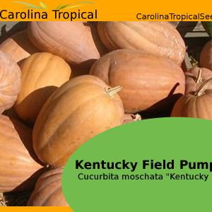 """Kentucky Field Pumpkin - Cucurbita moschata """"Kentucky Field"""" - 10 Seed Count"""