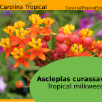 Asclepias curassavica - Tropical milkweed - Mexican Butterfly Weed - Scarlet Milkweed - 25 Seed Count