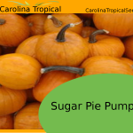 Sugar Pie Pumpkin Seeds for sale - 20 Seed Count