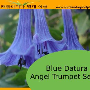 Blue Datura Angel Trumpets Seeds - 10 Seeds