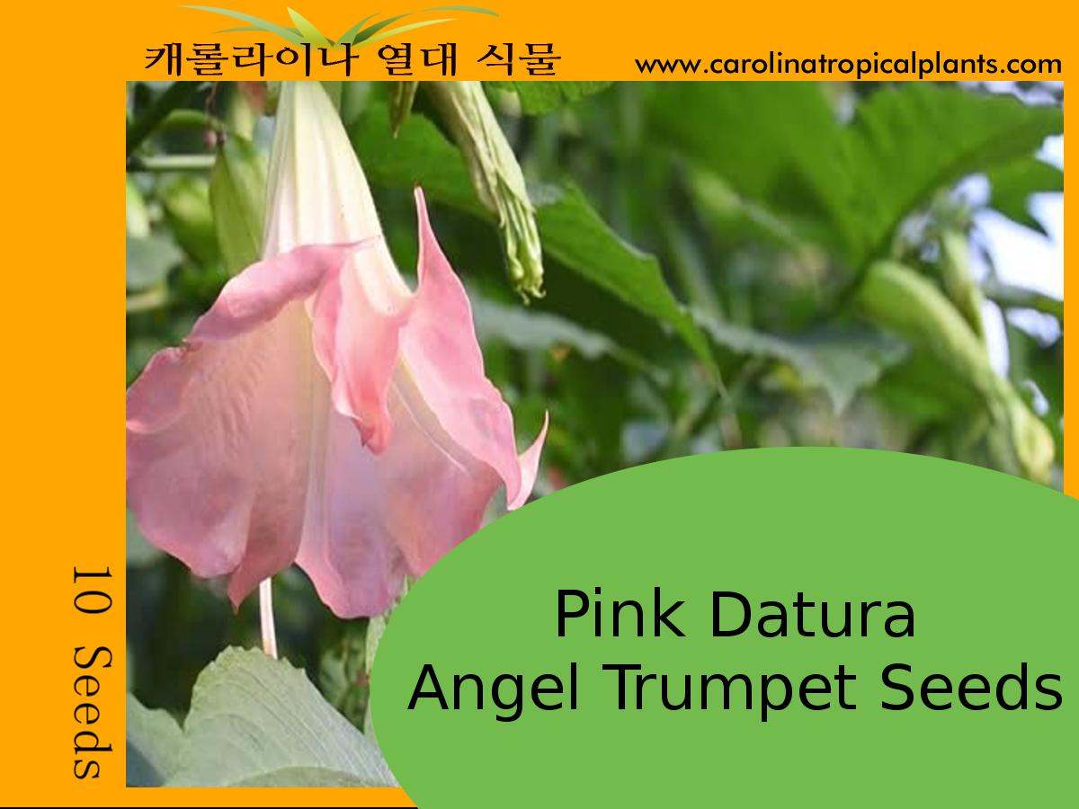 Pink Datura Angel Trumpets Seeds - 10 Seeds