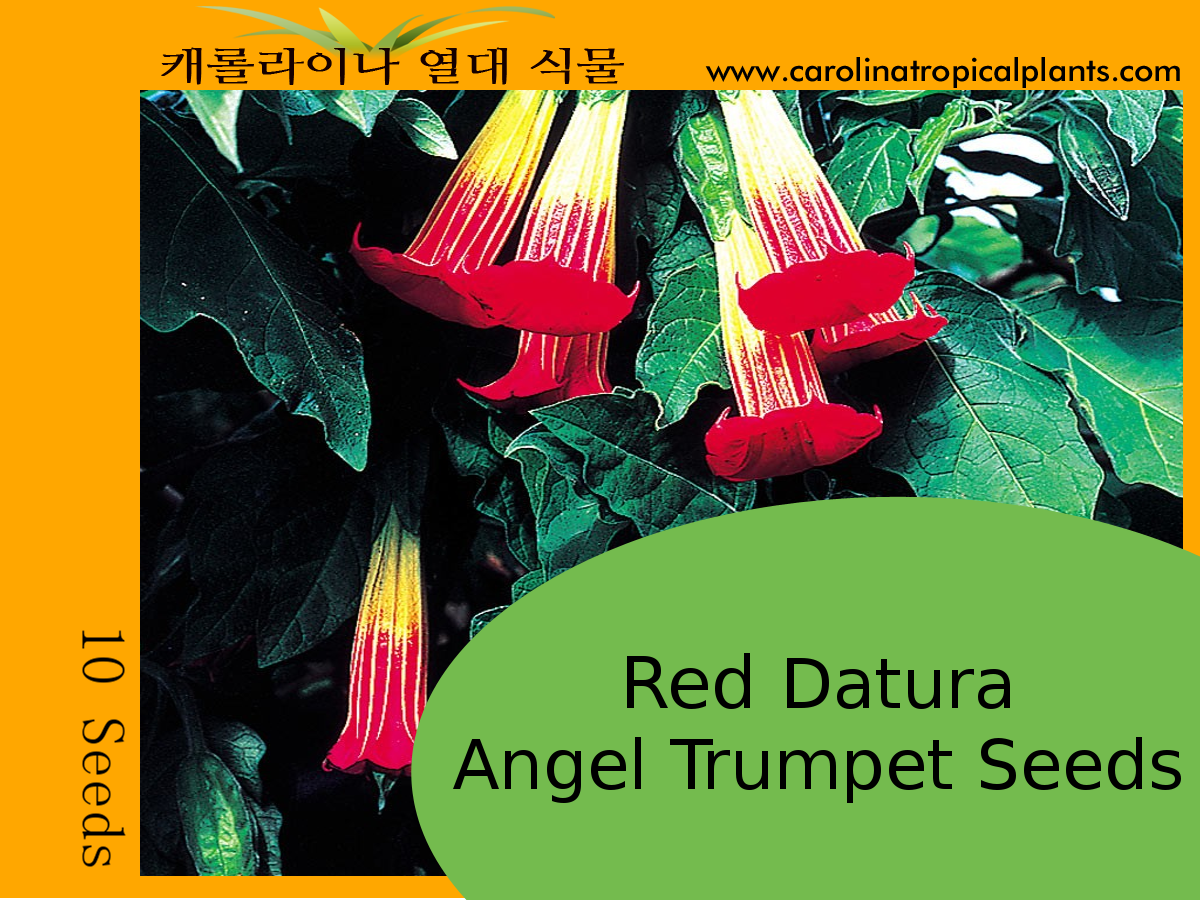 Red Datura Angel Trumpets Seeds - 10 Seeds