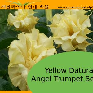 Yellow Datura Angel Trumpets Seeds - 10 Seeds