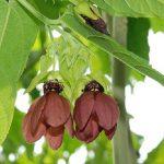 Abroma augusta (Devil Cotton, Family: Malvaceae)