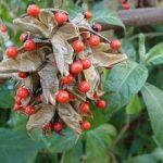 Abrus precatorius (Buddhist rosary bead, Rosary pea vine, Carolina muida, Deadly crab's eye, Lucky bean, Prayer beads, Weather plant, Wild liquorice, Family: Fabaceae)