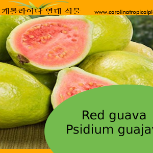 Red guava Psidium guajava - 20 Seed Count