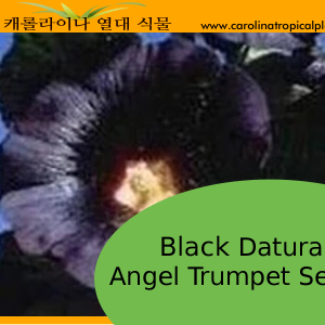 Black Angel Trumpet