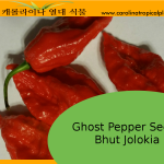 Ghost Pepper Seeds (Bhut Jolokia) – 10 Seeds