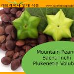 Plukenetia volubilis, commonly known as sacha inchi