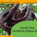 Carob Tree (Ceratonia siliqua - St John's-bread) - 10 Seeds