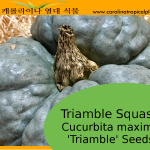 Triamble Squash Seeds