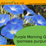 Purple Morning Glory - Ipomoea purpurea – 20 Seeds