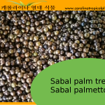 Sabal Palm tree seeds - Sabal palmetto – 100 Seeds