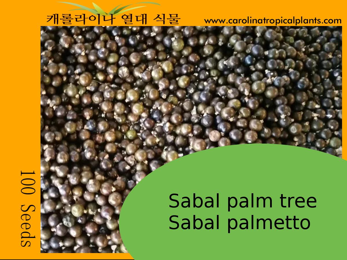 Sabal Palm tree seeds - Sabal palmetto – 100 Seeds