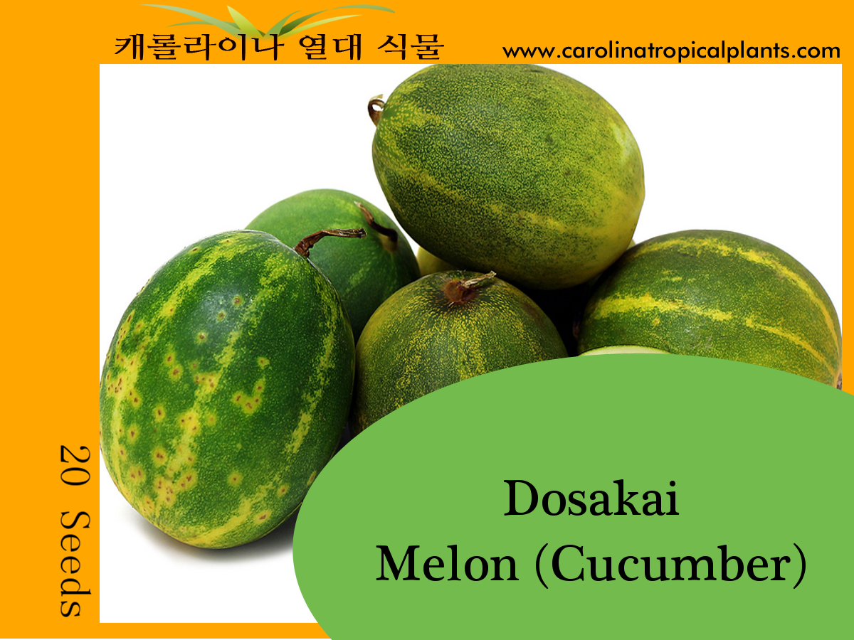 Dosakai Melon (Cucumber) Seeds - 20 Seed Count