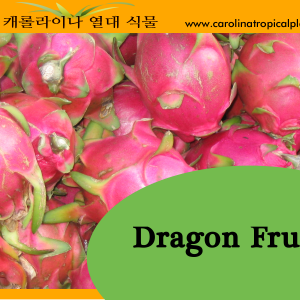 Dragon Fruit Seeds - 25 Seed Count