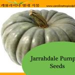 Jarrahdale Pumpkin Seeds - 25 Seed Count