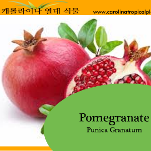 Pomegranate - Punica granatum Seeds - 25 Seed Count