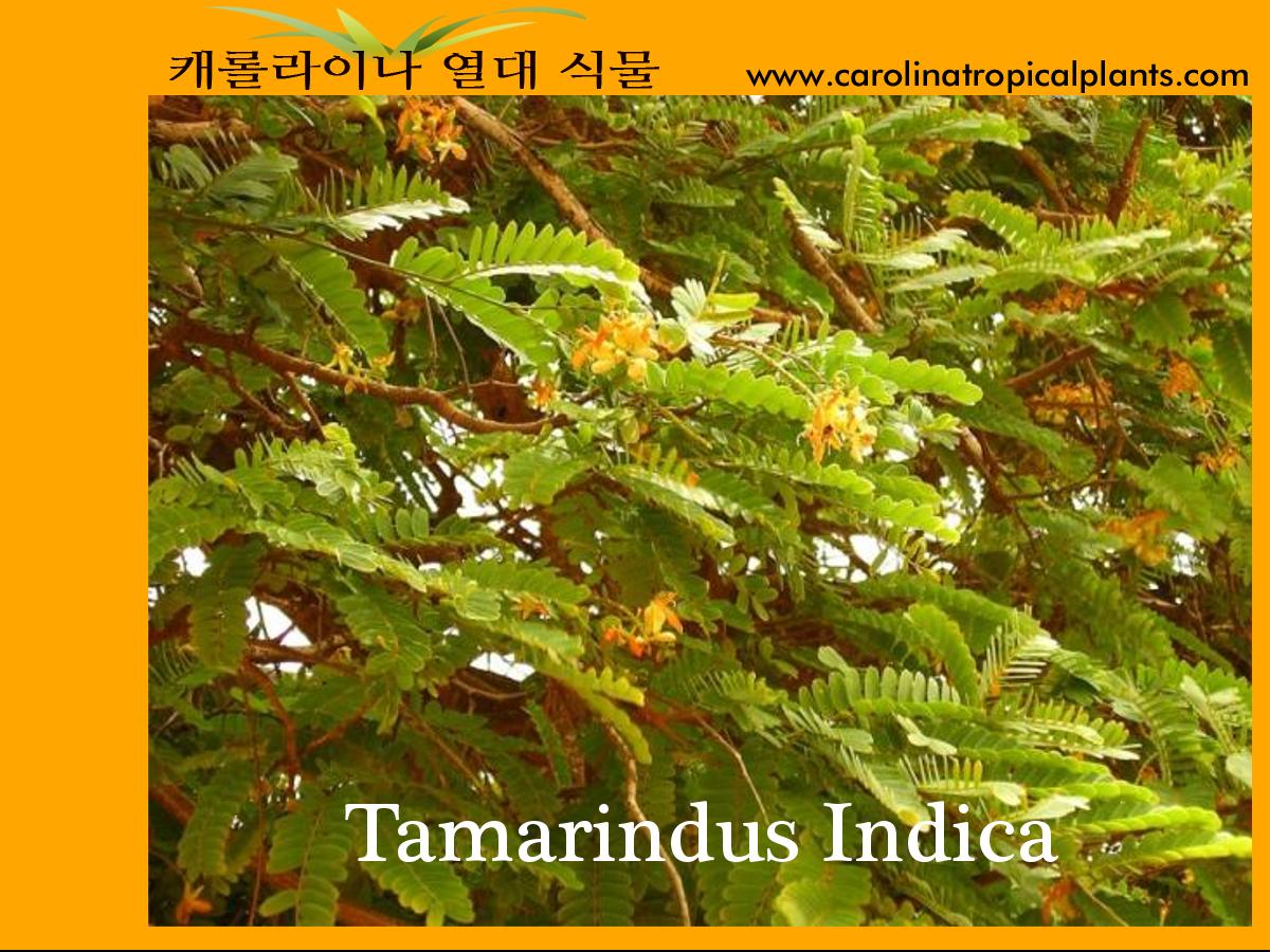 Tamarind Tree - Tamarindus Indica Seeds