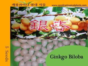 Ginkgo Biloba Seeds - 5 Seed Count