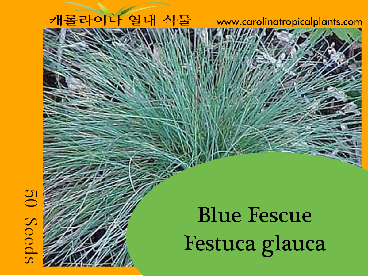Blue Fescue - Festuca glauca Seeds - 50 Seed Count