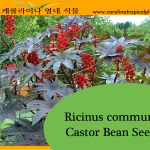 Castor Bean - Ricinus communis Seeds - 10 Seed Count