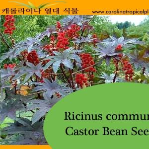 Castor Bean - Ricinus communis Seeds - 10 Seed Count
