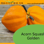 Golden Acorn Squash Seeds - 20 Seed Count