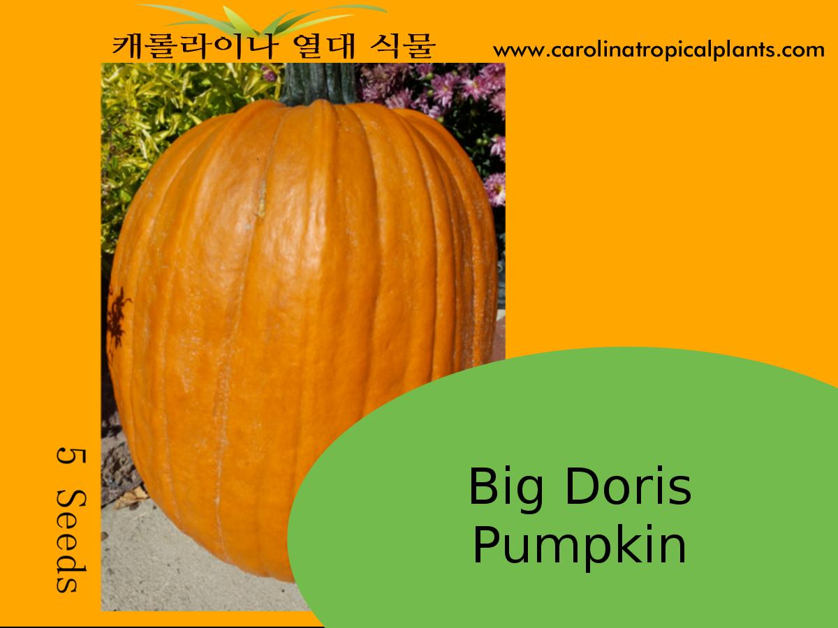Big Doris Pumpkin Seeds - 5 Seed Count