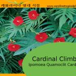 Cardinal Climber Vine - Ipomoea Seeds - 20 Seed Count