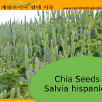 Chia Seeds - Salvia hispanica Seeds - 2000 Seed Count